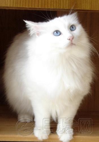 中国大白猫.