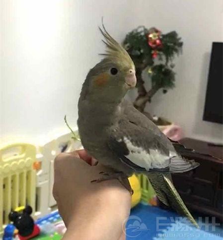 我可爱的手养鹦鹉玄凤
