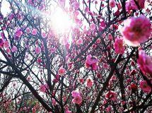 冬去春来花儿盛开(手机拍)