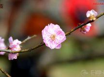 万树寒无色      南枝独有花   ——赏梅