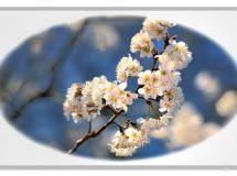樱桃花儿开